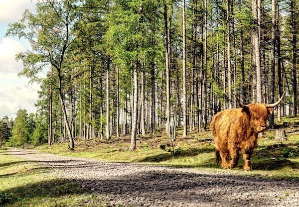 Ochsen im Exmoor